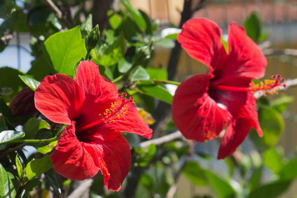 Bouturage hibiscus