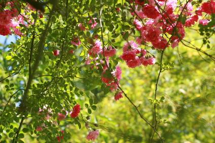 Plantation rosier grimpant