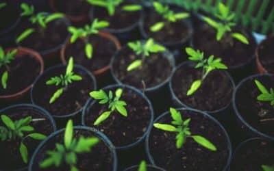 Plantation agapanthe