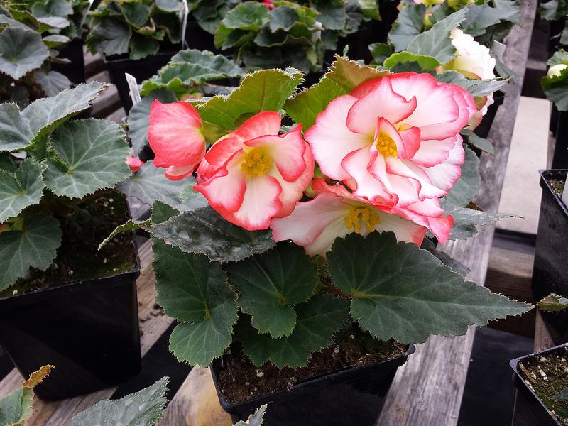 Plantation bégonia tubéreux