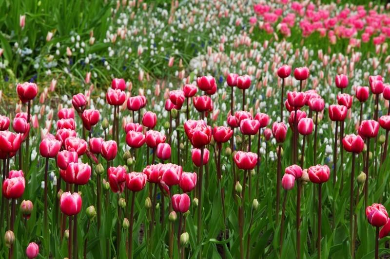 Plantation tulipe