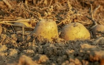 Comment planter, cultiver et récolter des pommes de terre ?